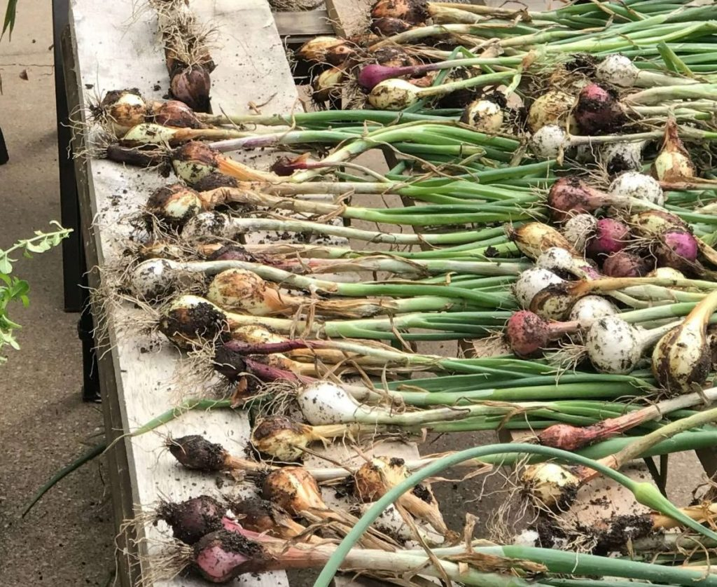 growing onions in central Texas
