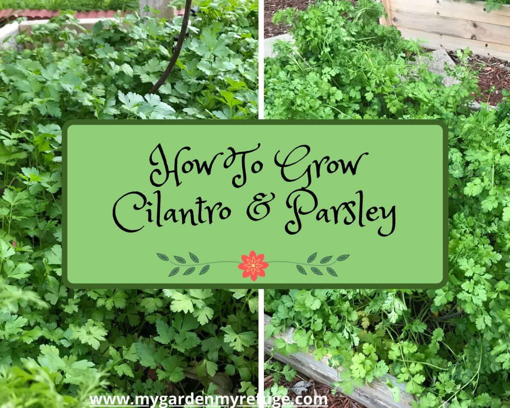 how to grow cilantro and parsley