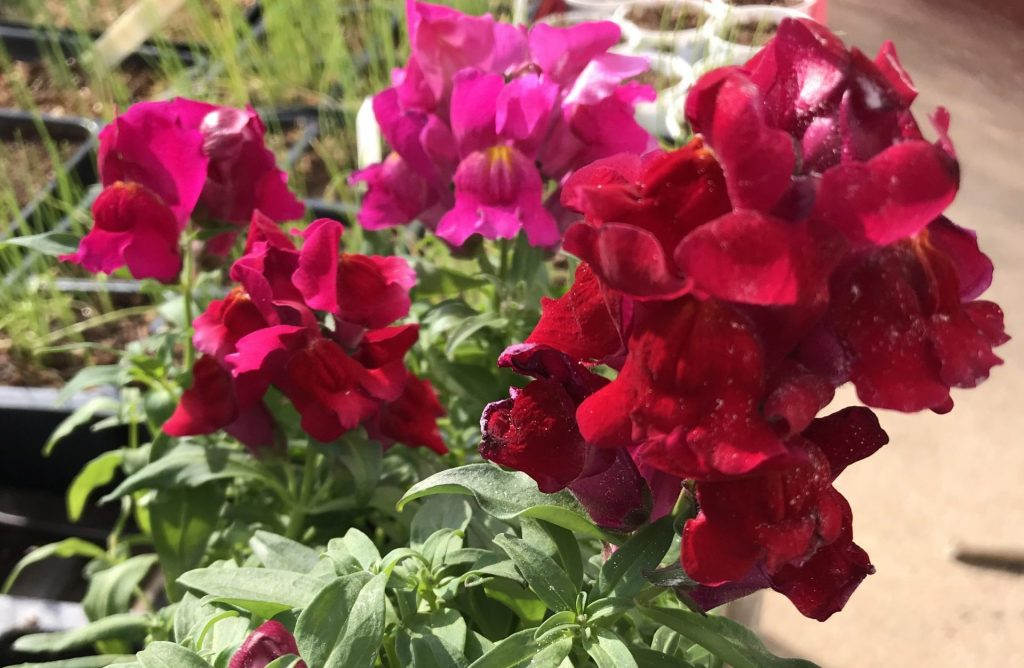 How to grow snapdragons from seed in  Central Texas