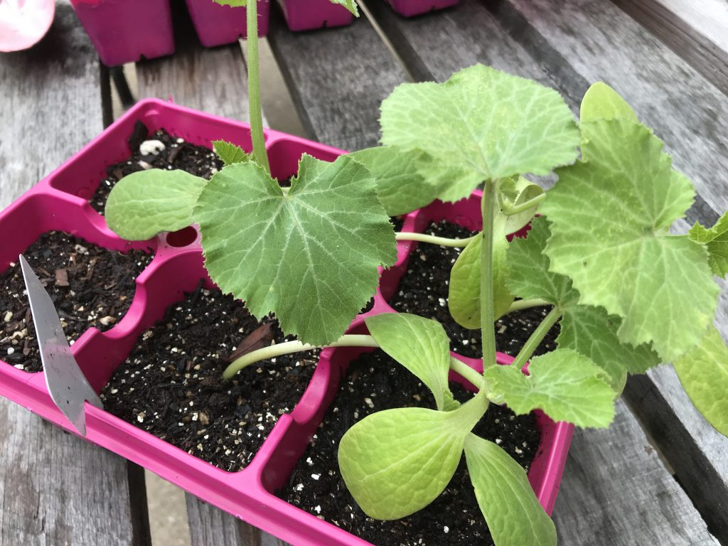 growing squash in central Texas