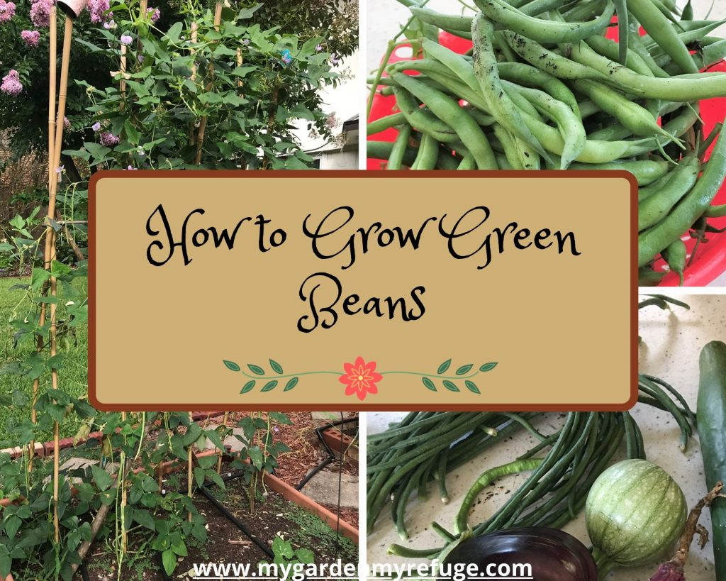 how to grow green beans in central texas