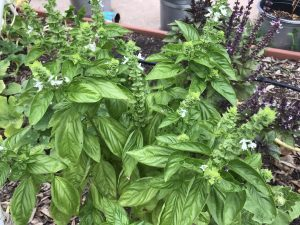 how to grow basil in Texas