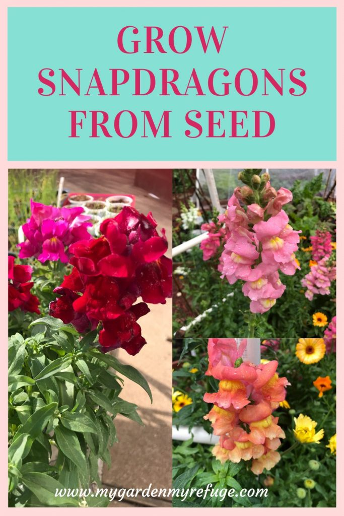 How to grow snapdragon from seed