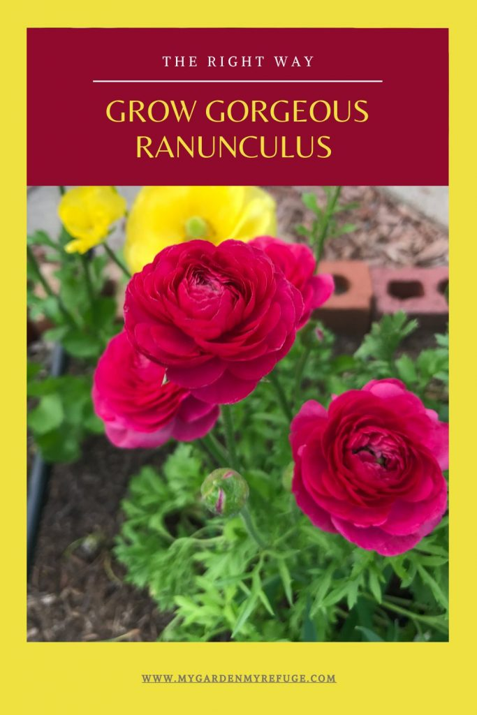 How to plant ranunculus in central texas