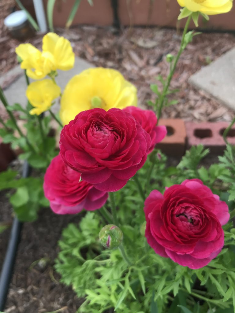 How to grow ranunculus in central Texas