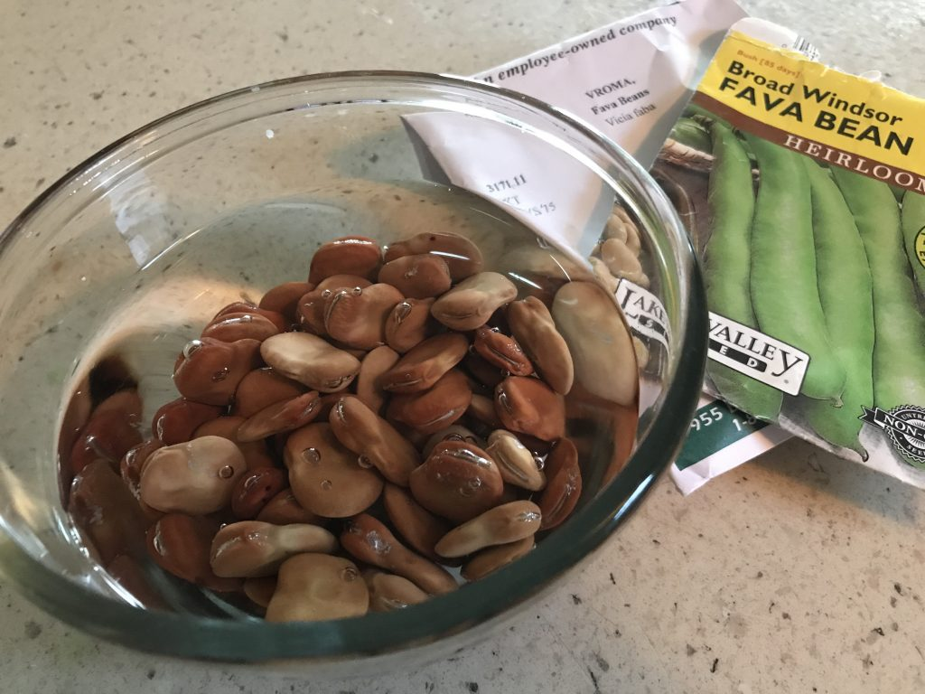 How to grow Broad beans in Central Texas?