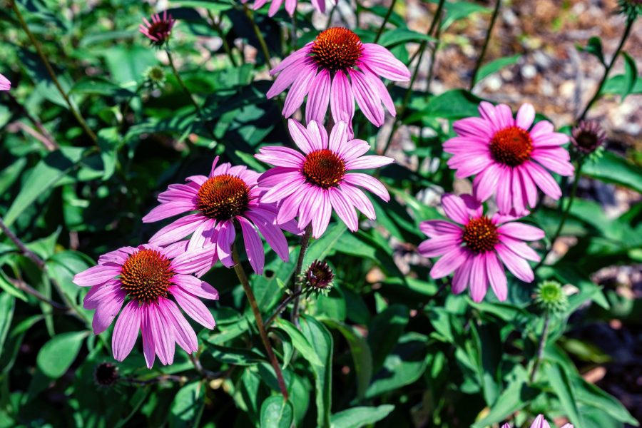 the best perennial herbs to grow in Texas