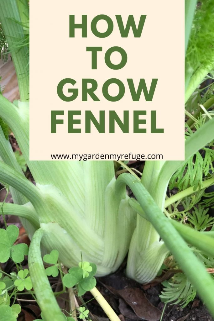 How to grow fennel in Central Texas