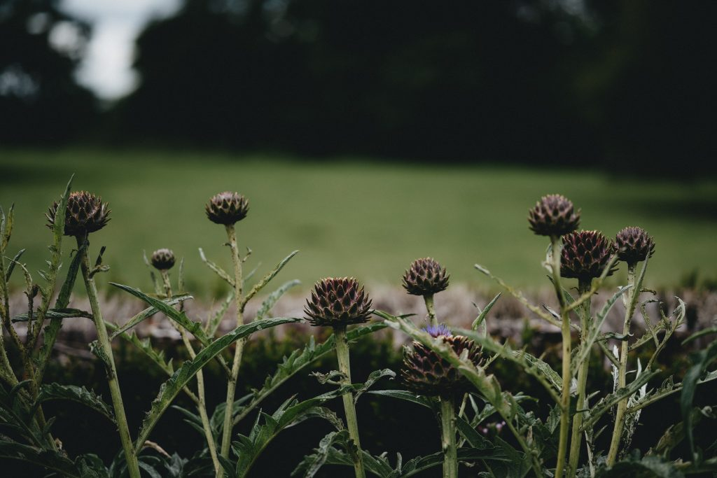 How to grow artichokes and cardoons