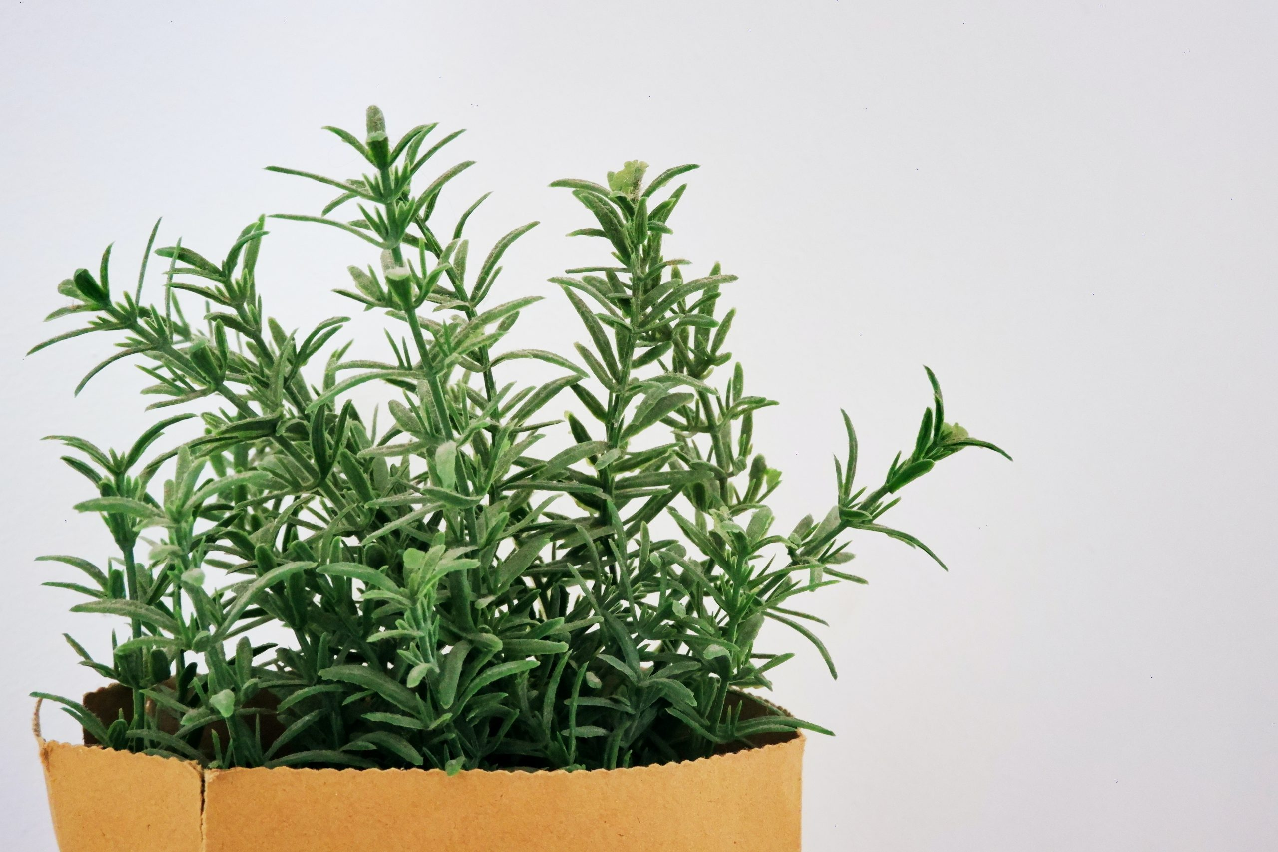 Growing rosemary in central Texas