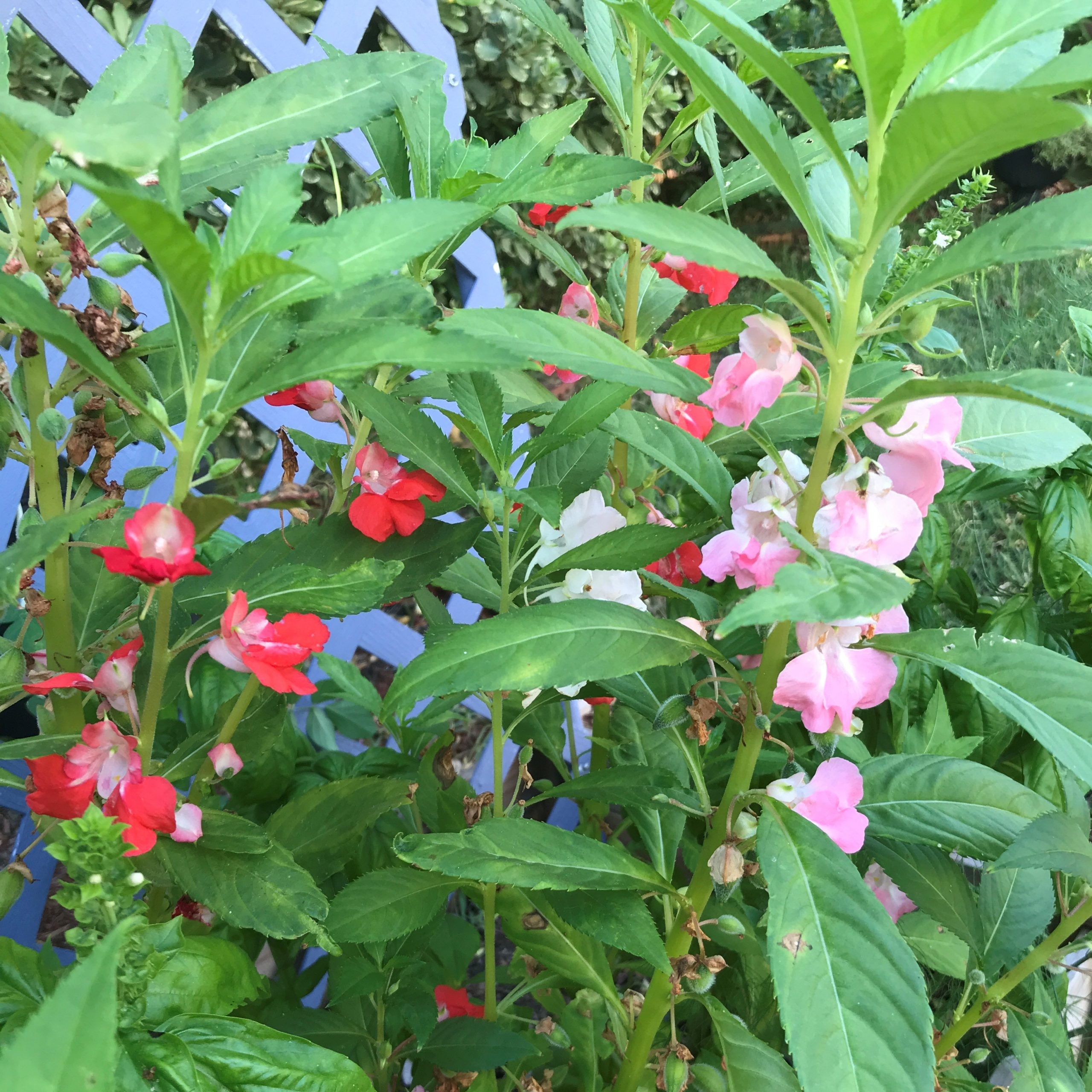 How to grow balsam flower