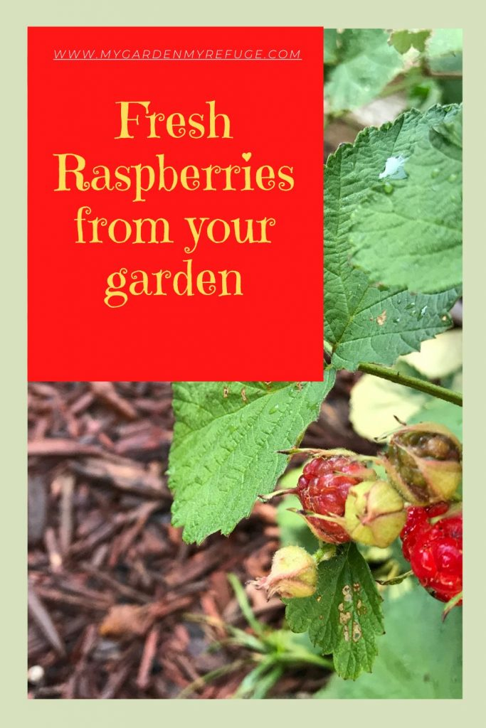 How to grow raspberries in central Texas