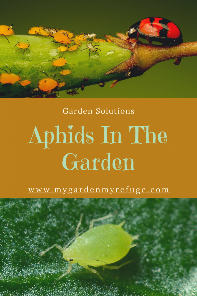 How to deal with aphids in the kitchen garden?