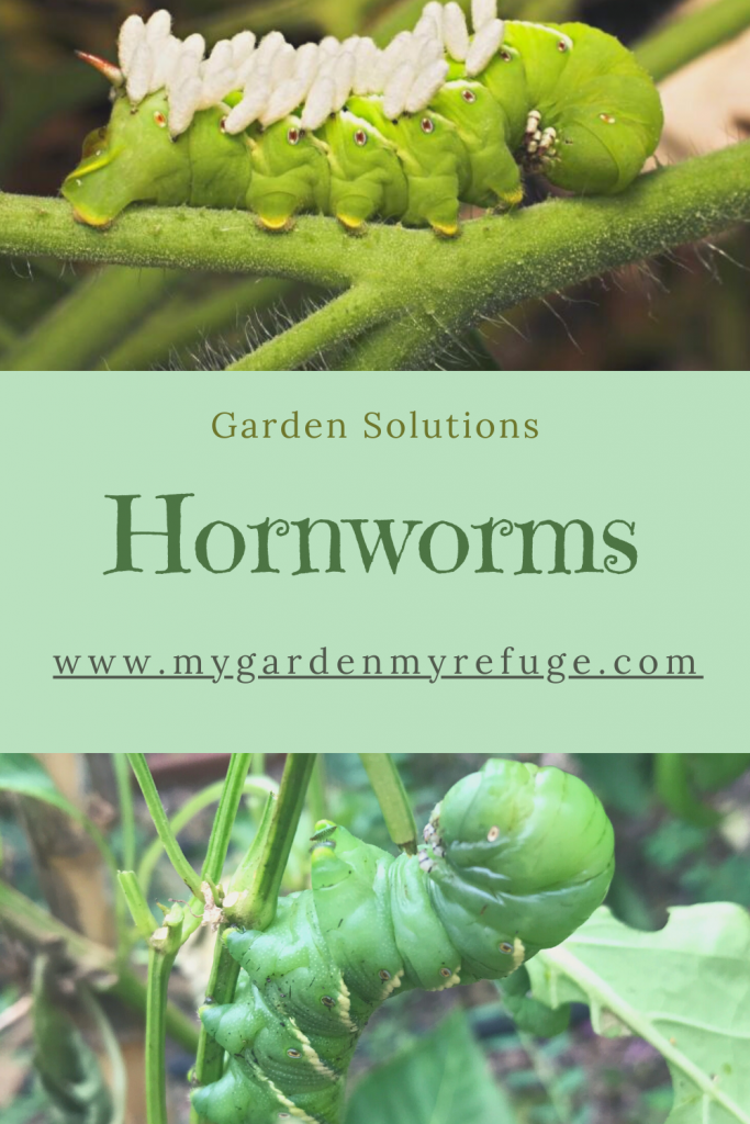 what you need to know about hornworms